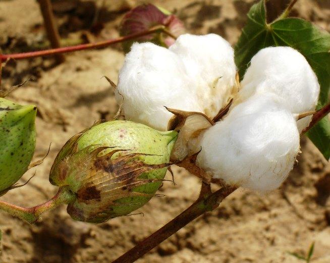 Le coton africain est à l'épreuve du réchauffement climatique